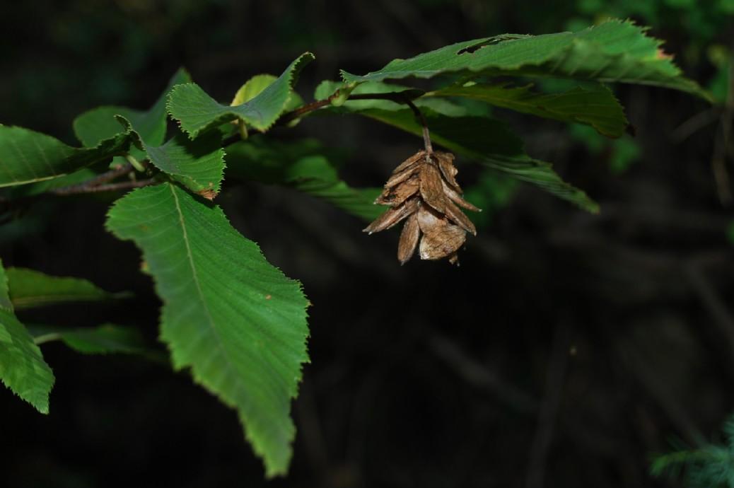 Ostrya carpinifolia  4