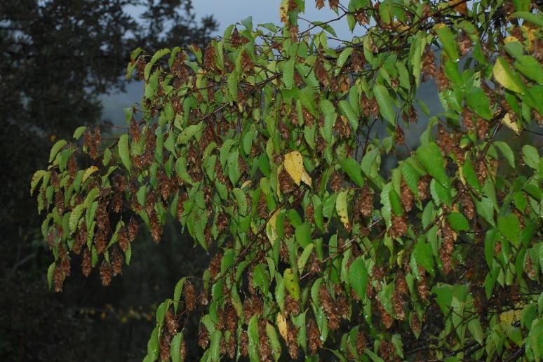 Ostrya carpinifolia  6
