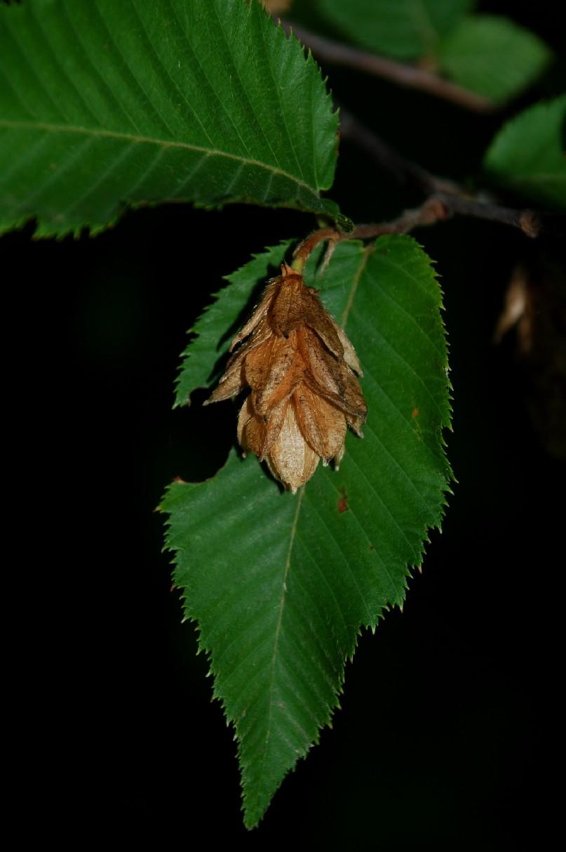 Ostrya carpinifolia 9