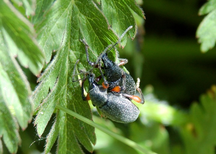 Otiorhynchus sp. - Curculionidae