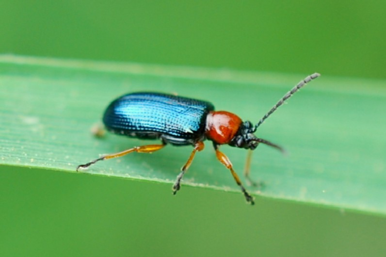 Oulema sp. - Chrysomelidae