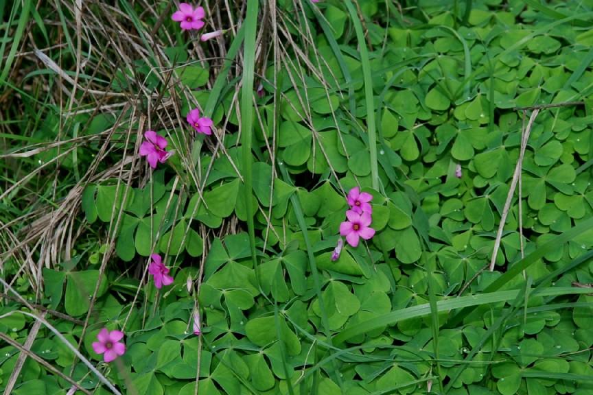 Oxalis articulata 11