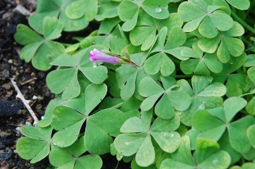 Oxalis articulata 14