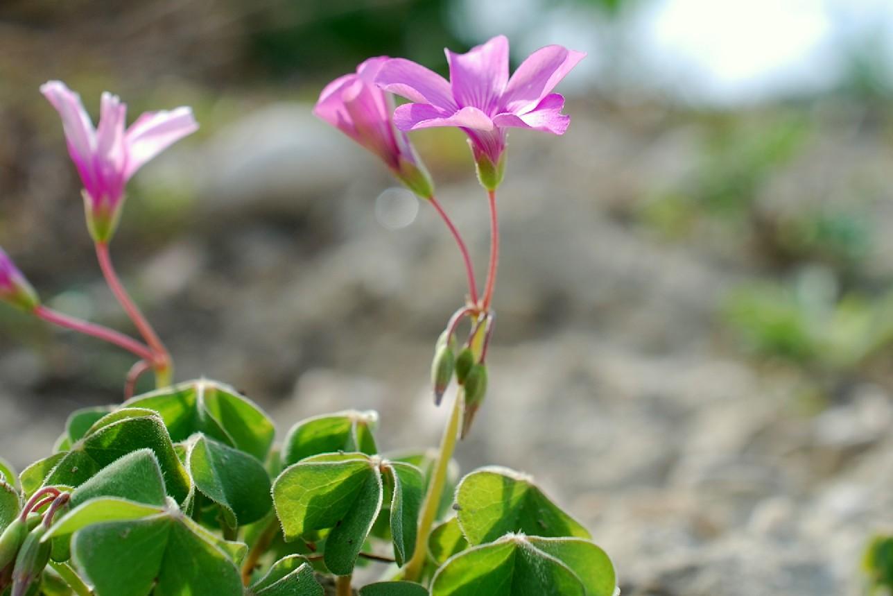 Oxalis articulata 17