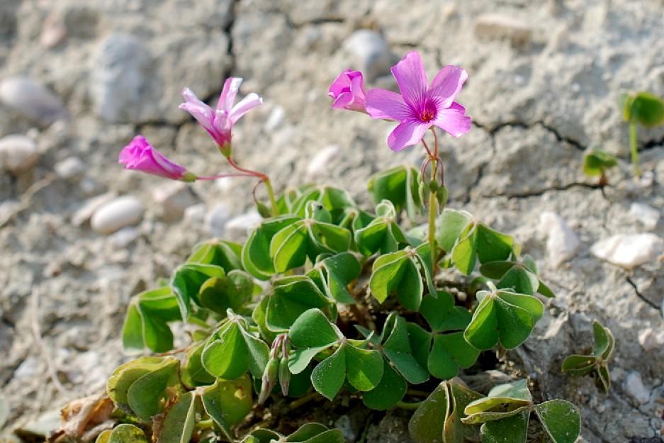 Oxalis articulata 18