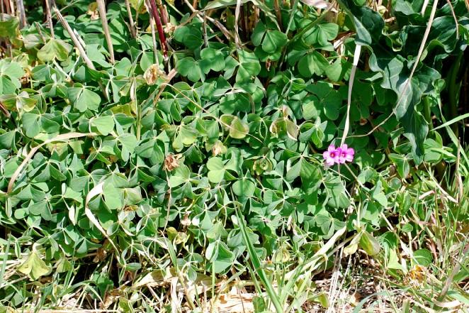 Oxalis articulata 19