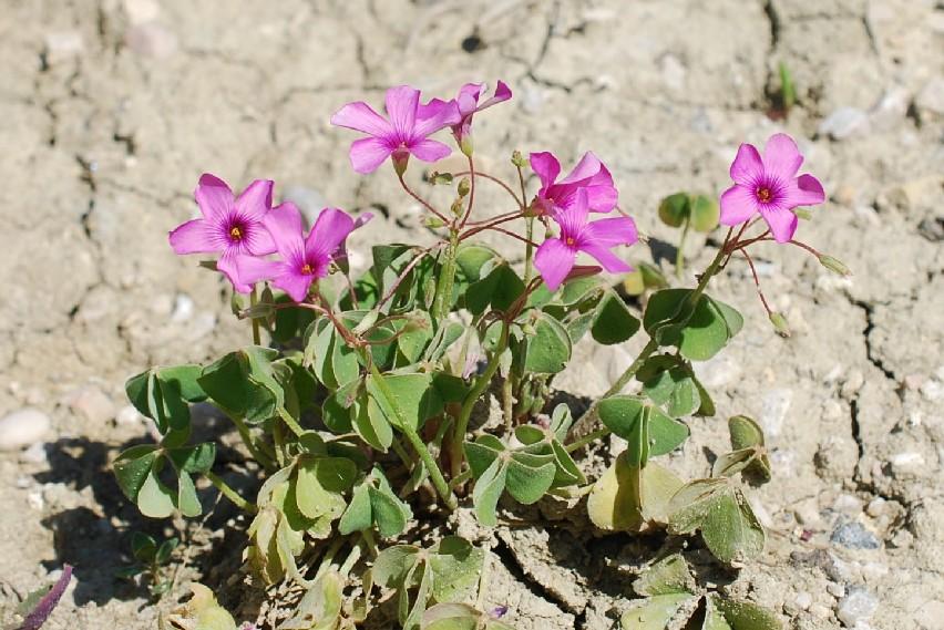 Oxalis articulata 20