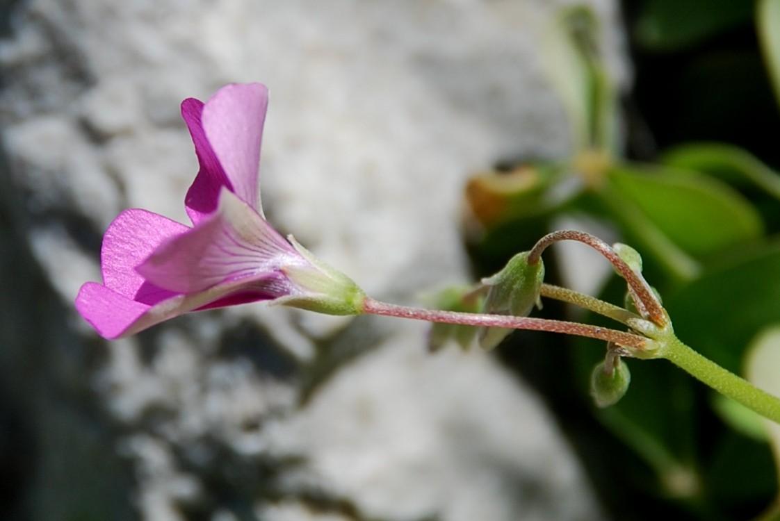 Oxalis articulata 6