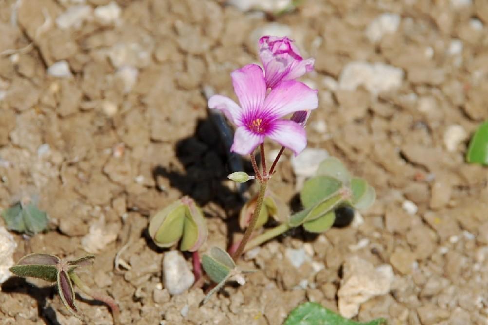 Oxalis articulata 8
