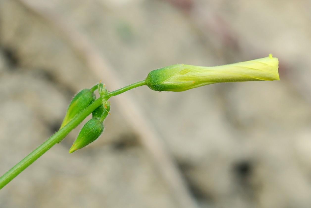 Oxalis pes-caprae 16