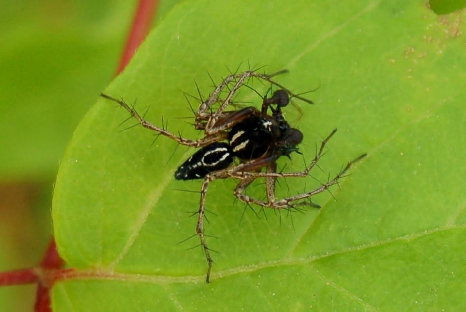 Oxyopes heterophthalmus -  Oxyopidae