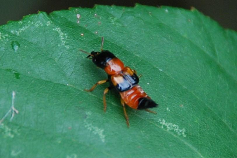 Oxyporus rufus - Staphylinidae