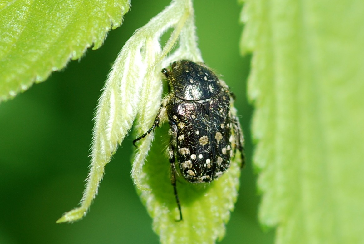 Oxythyrea funesta -  Cetoniidae