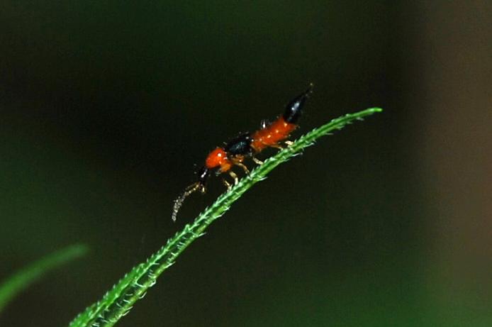 Paederus sp. - Staphylinidae