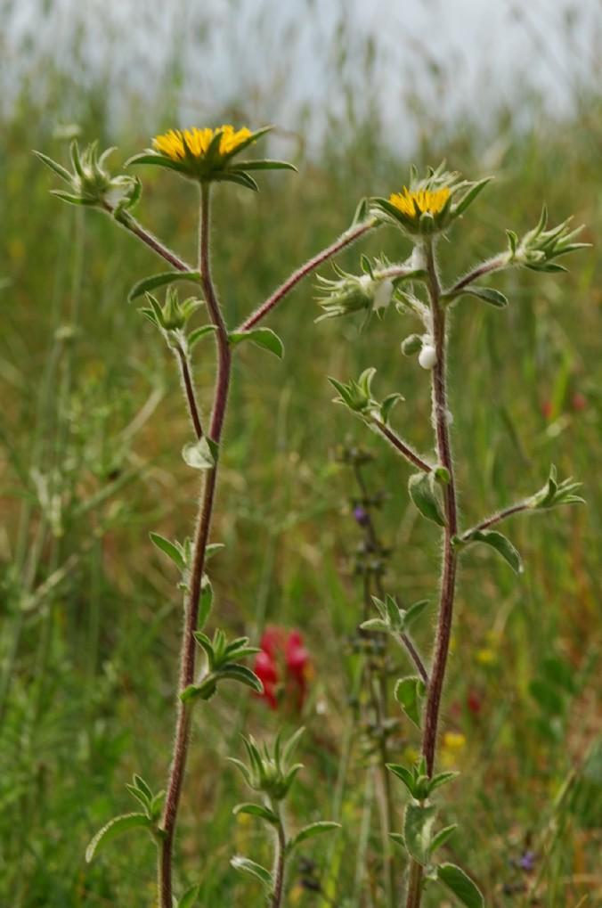 Pallenis spinosa subsp. spinosa