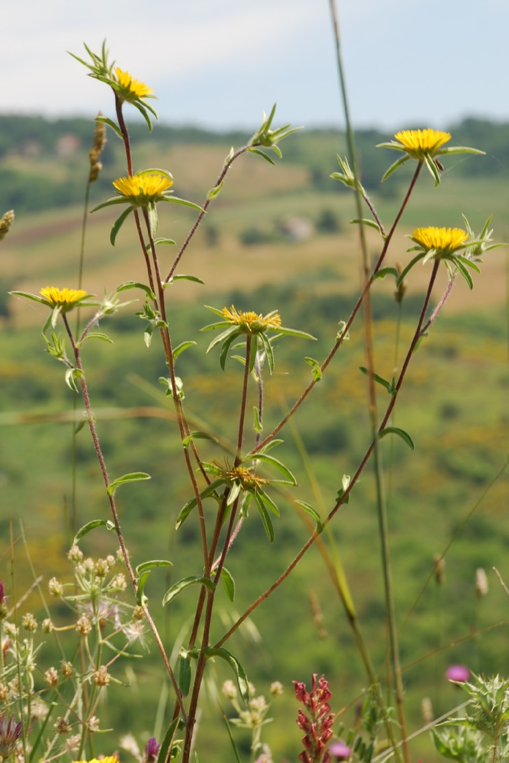 Pallenis spinosa subsp. spinosa 12