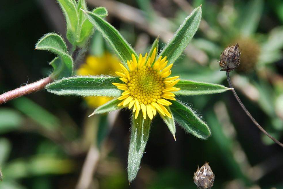 Pallenis spinosa subsp. spinosa 13