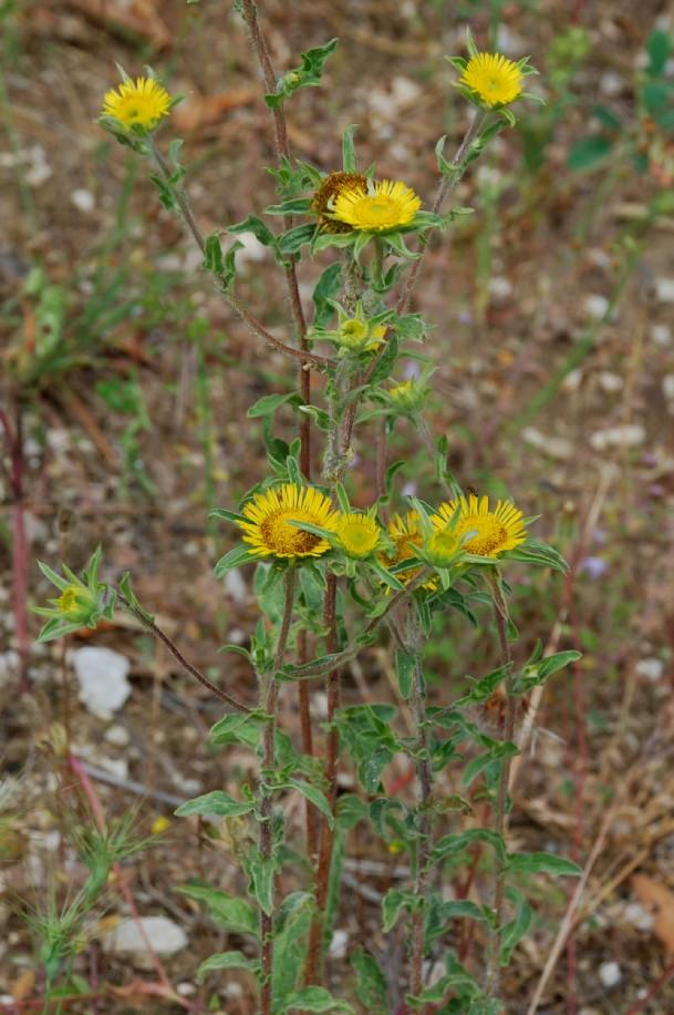 Pallenis spinosa subsp. spinosa 14