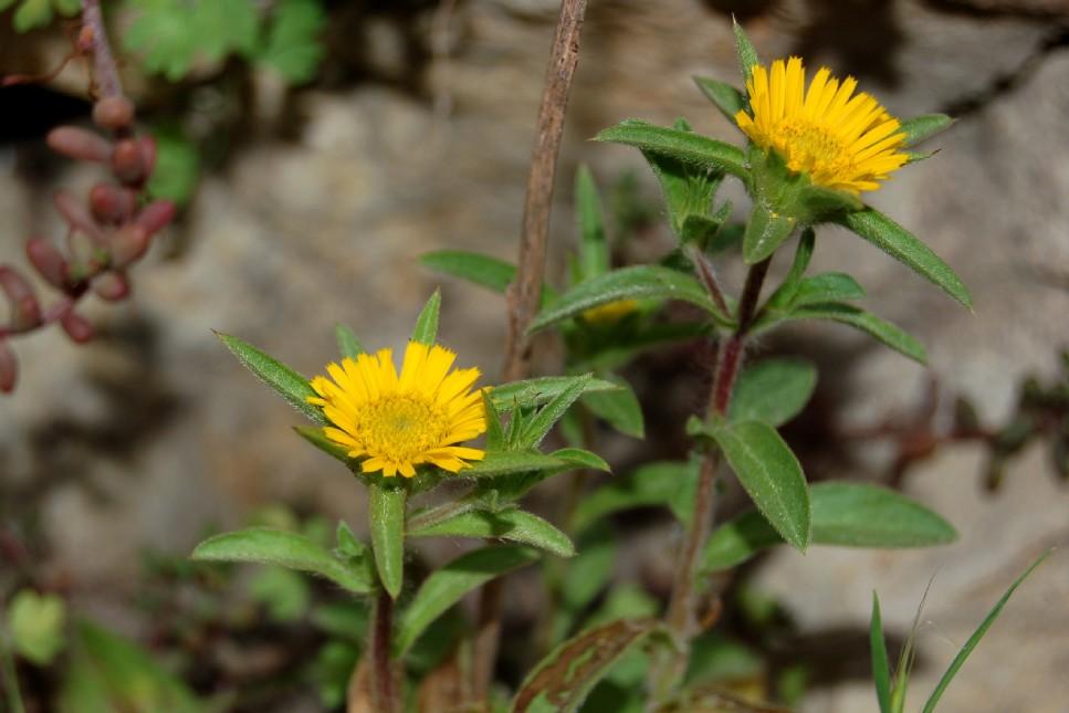 Pallenis spinosa subsp. spinosa 2