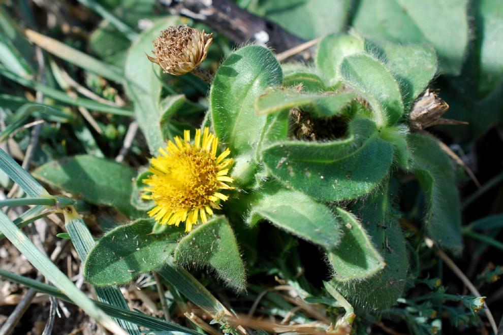 Pallenis spinosa subsp. spinosa 20