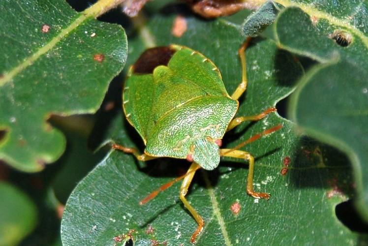 Palomena prasina - Pentatomidae