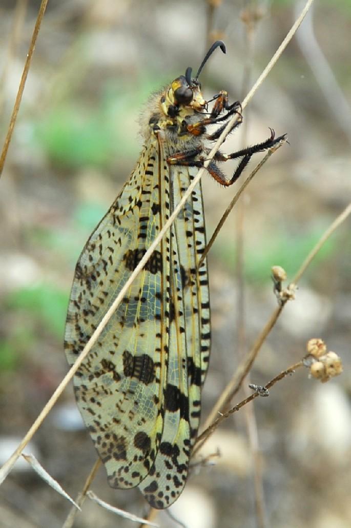 Palpares libelluloides - Myrmeleontidae