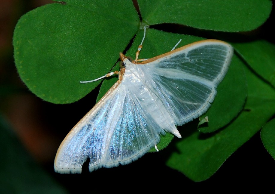 Palpita vitrealis - Crambidae