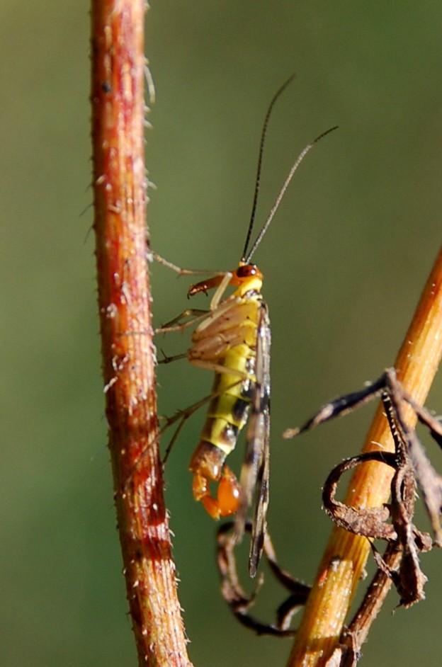 Panorpa sp. - Panorpidae