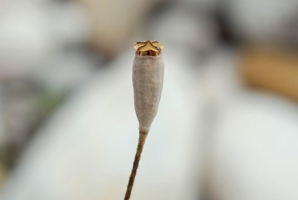 Papaver dubium 14