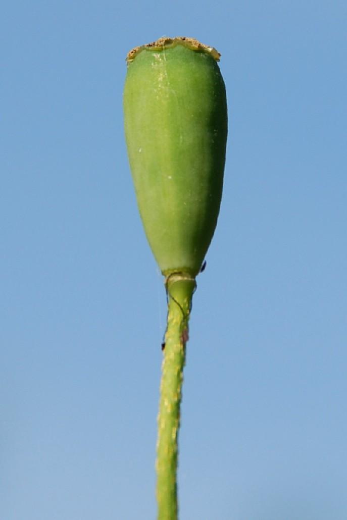 Papaver dubium 5