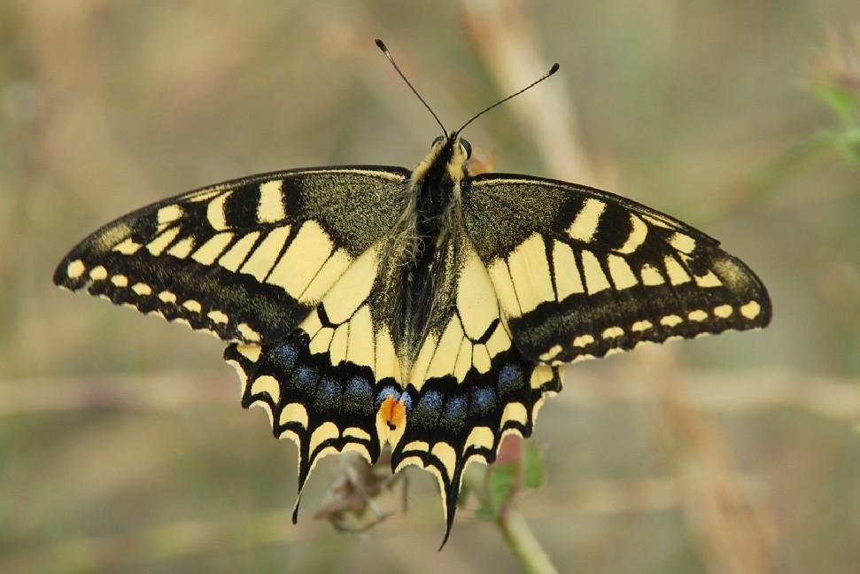 Papilio machaon - Papilionidae