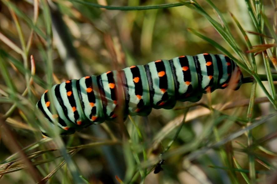 Papilio machaon (bruco)