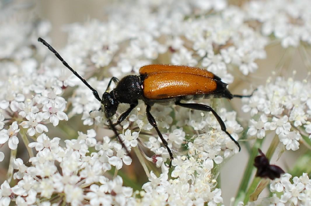 Paracorymbia fulva - Cerambycidae