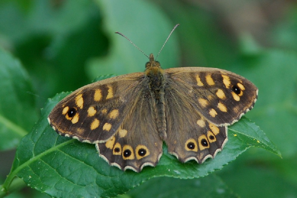 Pararge aegeria - Nymphalidae