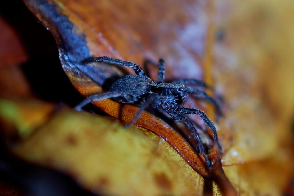 Pardosa sp. - Lycosidae