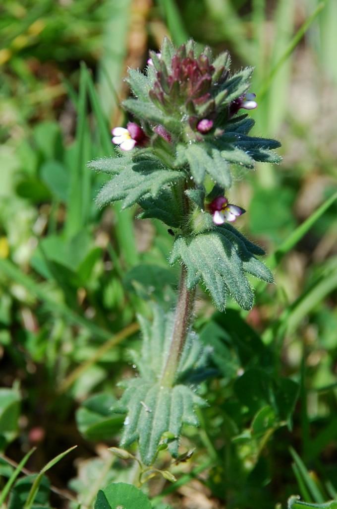 Parentucellia latifolia 11