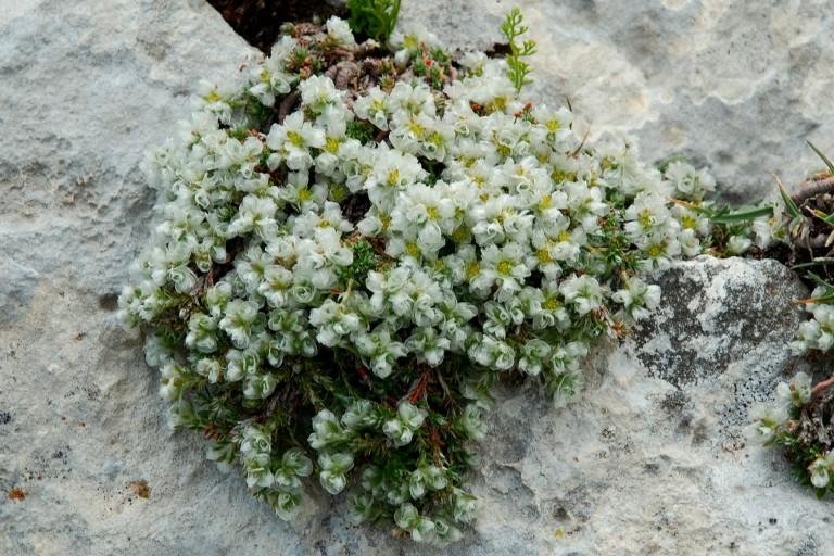 Paronychia kapela subsp. kapela