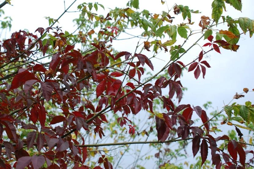 Parthenocissus quinquefolia 15