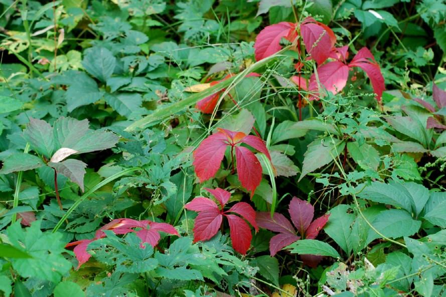 Parthenocissus quinquefolia 18