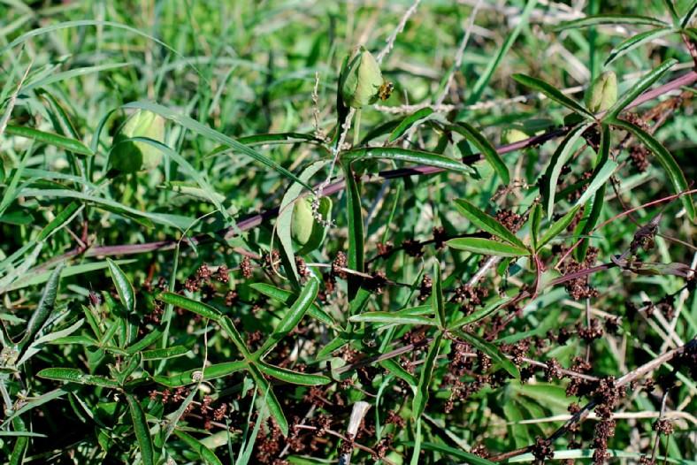 Passiflora caerulea 5