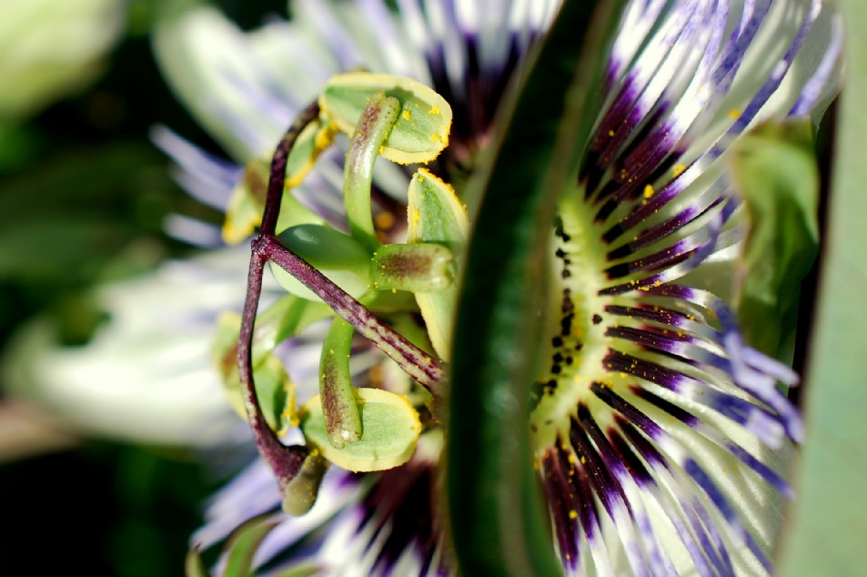 Passiflora caerulea 7