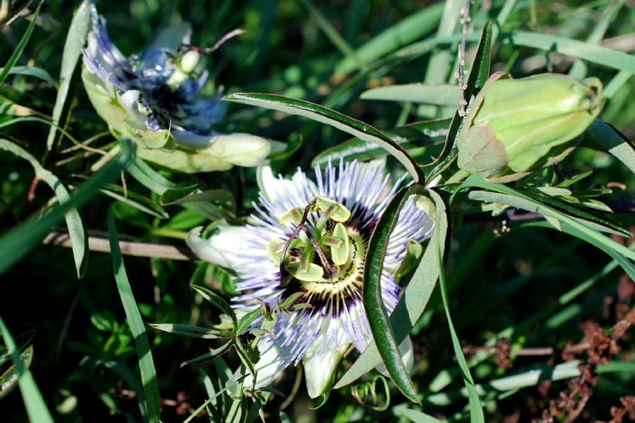Passiflora caerulea 8