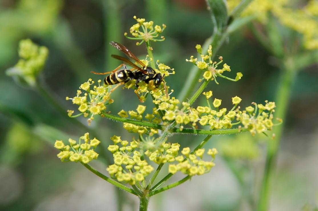 Pastinaca sativa subsp. urens 13