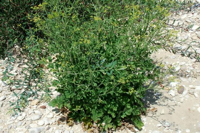 Pastinaca sativa subsp. urens 16