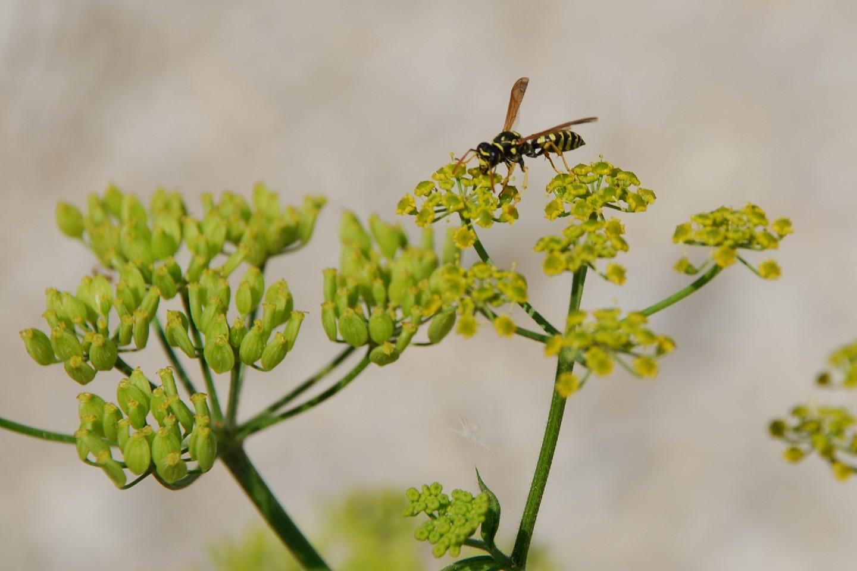 Pastinaca sativa subsp. urens 18