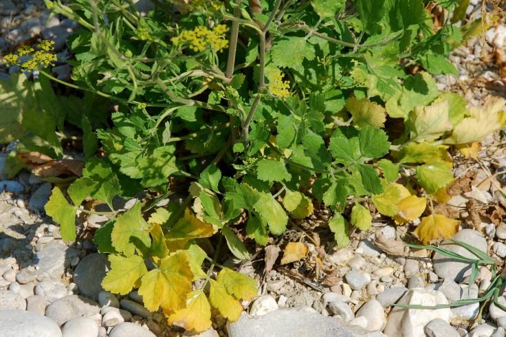 Pastinaca sativa subsp. urens 20