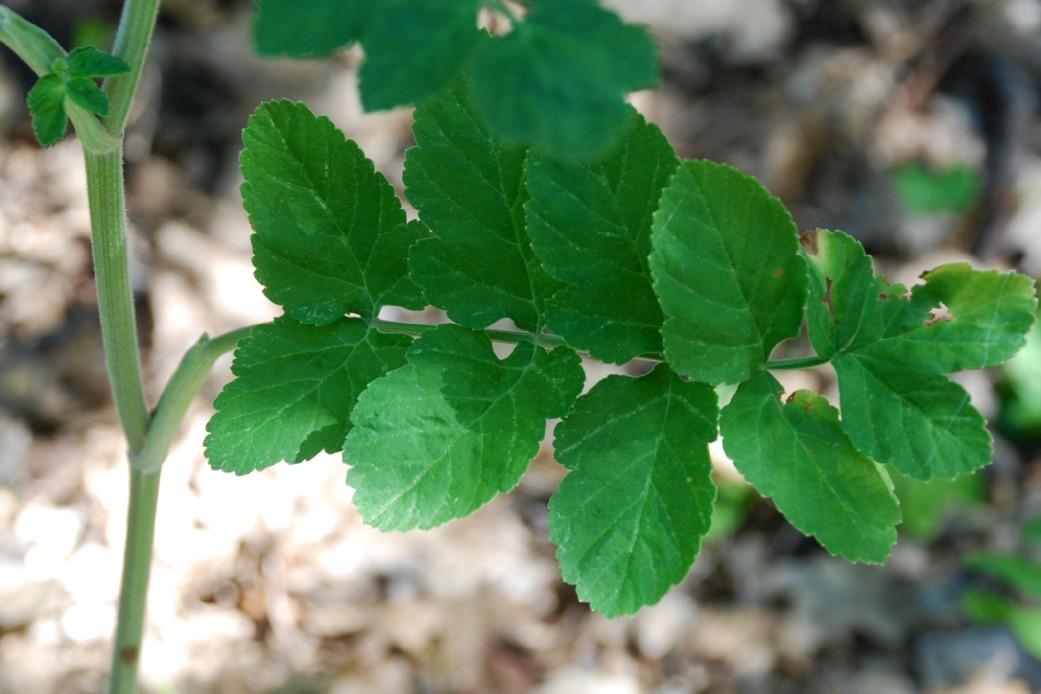 Pastinaca sativa subsp. urens 22
