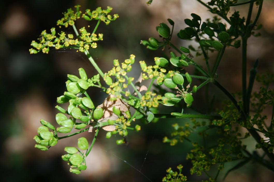 Pastinaca sativa subsp. urens 23