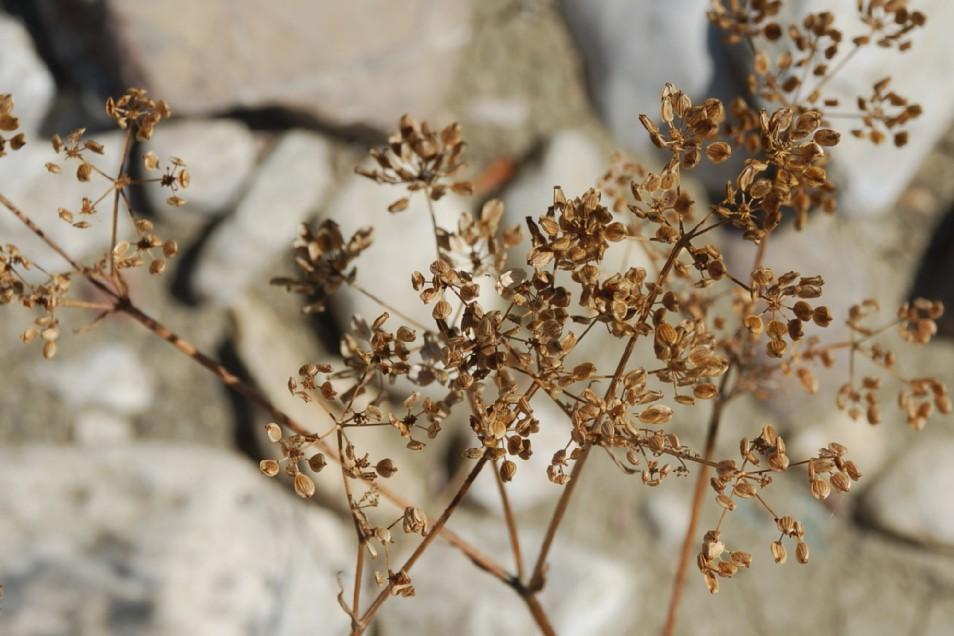 Pastinaca sativa subsp. urens 25