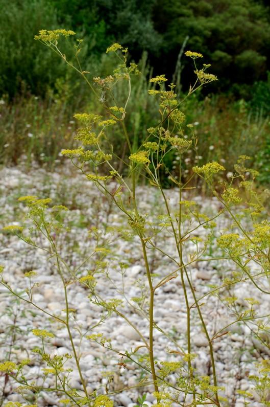 Pastinaca sativa subsp. urens 3